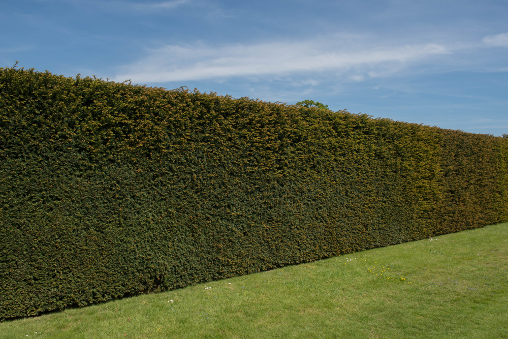 Perfect Hedge Maintenance Over Winter - World Of Hedges