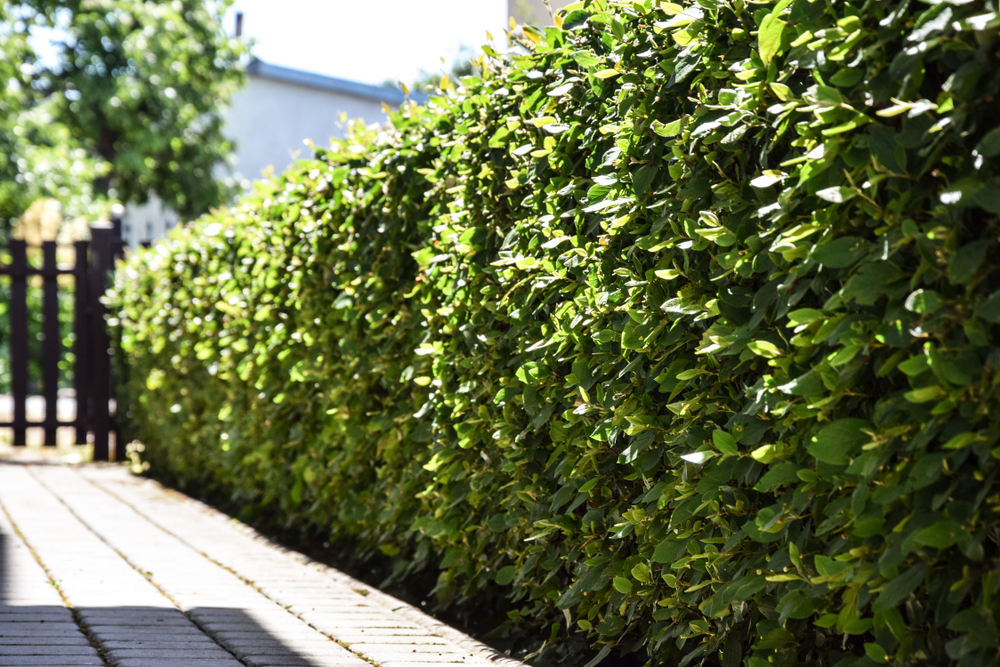What Is Pleached Hedging? And How To Go About The Process | World Of Hedges