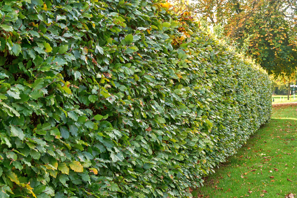 What Are Fast Growing Hedge Types - World Of Hedges