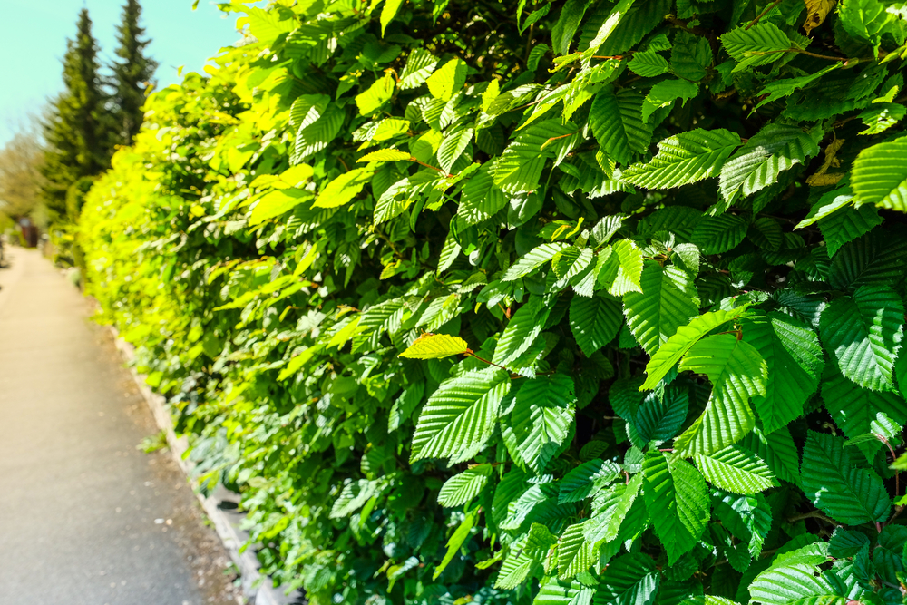 The Hedges That Flower In The Summer - World Of Hedges