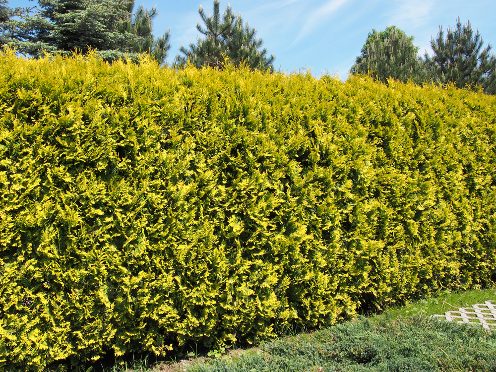 Helpful Information About Hedges And Drought In The Summer - World Of Hedges